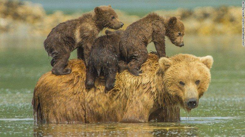 bear-piggyback